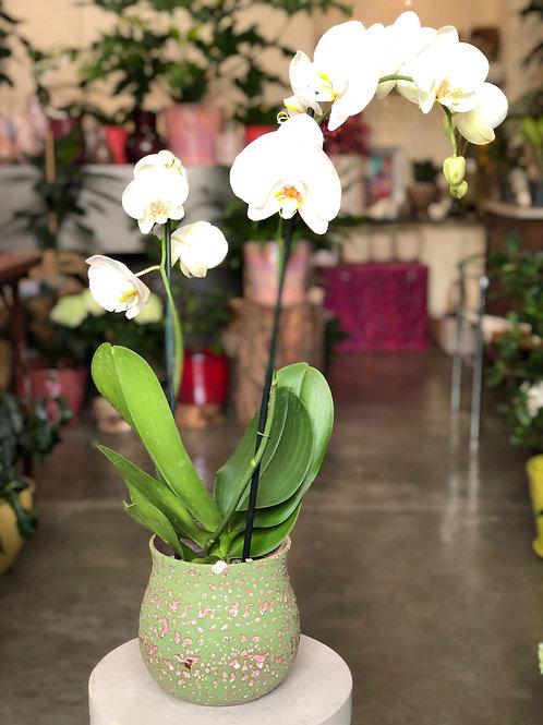 Orchidée blanche 2 hampes