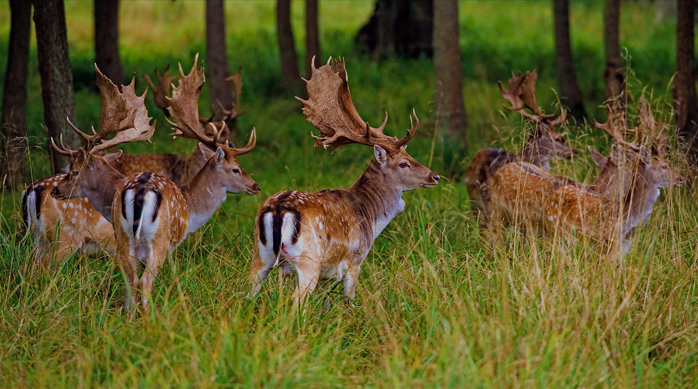 Fallow deer, native hunting shafts, arrows, broad head, bow hunting trips