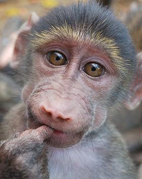 Baboon orphan CARE