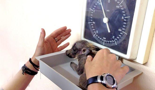 Weighing Infant Warthog