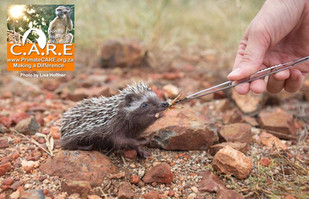 Feeding African Hedgehogs Pre-Release (Atelerix frontalis)