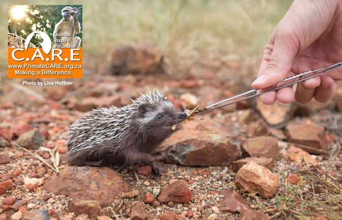 Feeding African Hedgehogs Pre-Release (Atelerix frontalis)