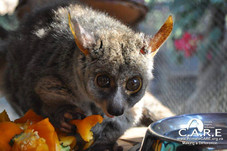 Greater Bush Baby