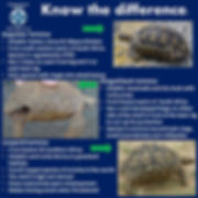 tortoise conservation, tortoise rescue, tortoise rescue, road, south africa, hinged cangulate tortoise hinged back, leopard tortoise,