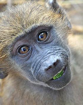 Baboon orphan babies at CARE