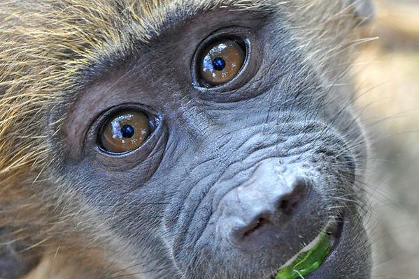Orphan baboon