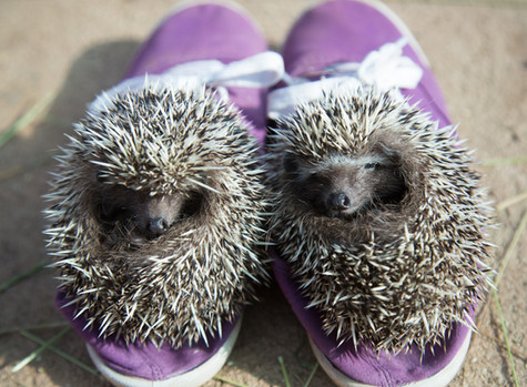 Two Rescued and Rehabilitated African Hedgehogs