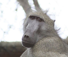 Adult male baboon Jimmy James at CARE