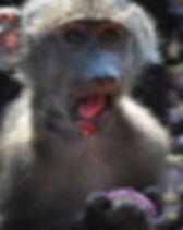 Baboon baby orphan