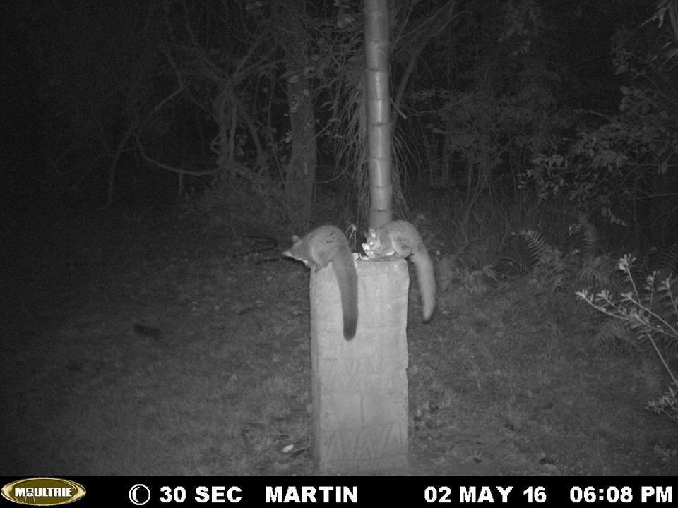 Post-Release Monitoring of Released Bushbabies