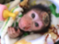 Ellie Orphan Chacma Baboon