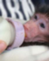 Baboon orphan drinking mik