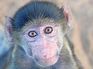orphan_baboon_grey