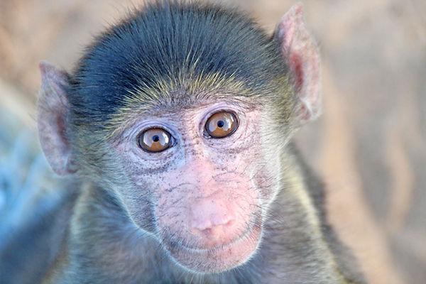 orphan chacma baboon by Elise Koole