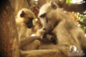 Baboon Family CARE