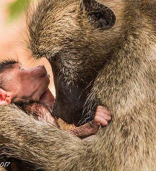 Chacma baboon mother & baby