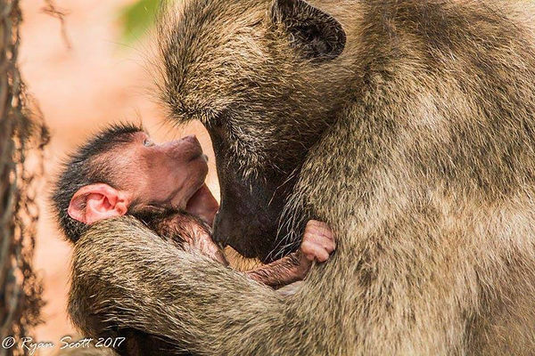 Mother & infant baboon chacma