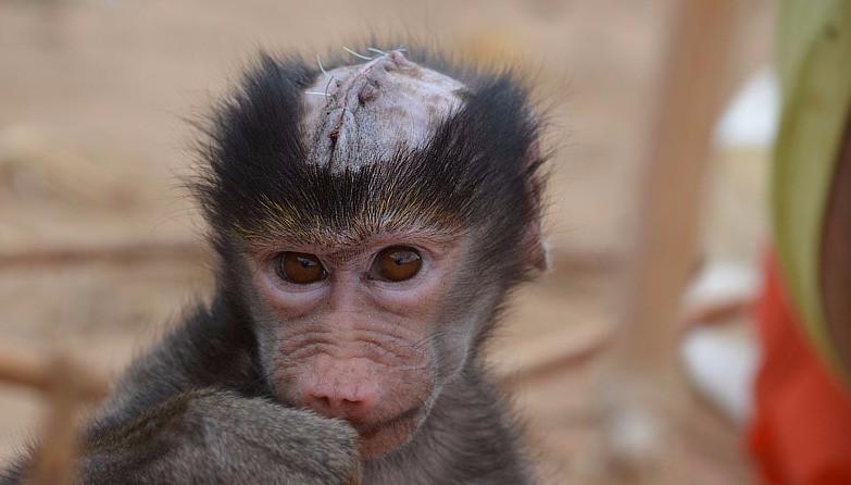 Saving Injured Orphan Baboons