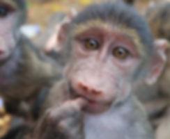 Baboon_baby_orphan_CARE