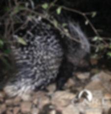 Porcupine rehabilitation and release