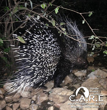 Porcupine rehabilitation and release