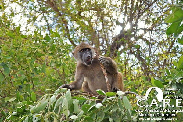 Chacma baboon orphan