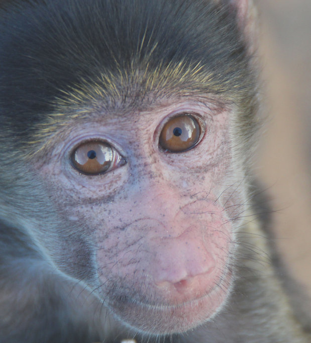 Orphan baboon Grey needs you!  Photo by Elise Koole