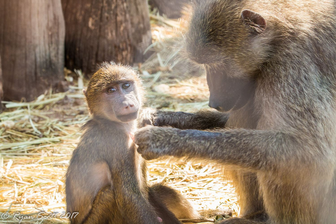 Surrogate Wild Mothers