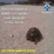 tortoise conservation, tortoise rescue, road, south africa, angulate tortoise