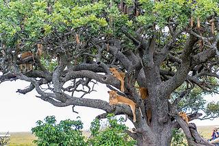 Climbing Lions Uganda