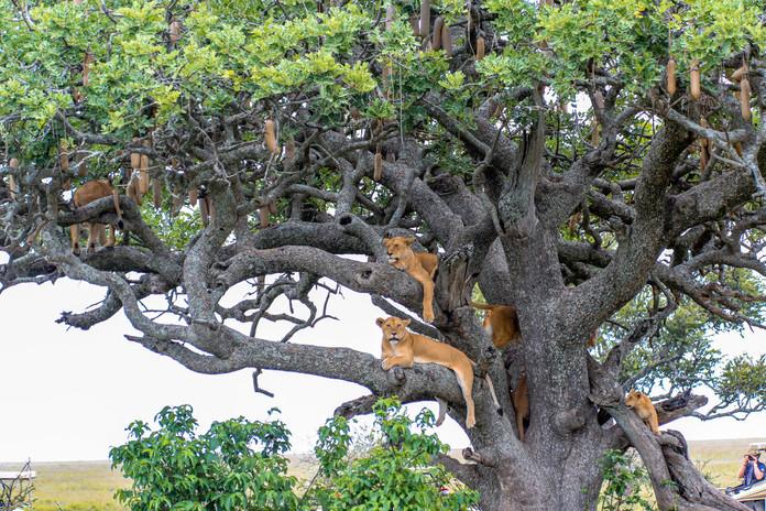 Uganda Climbing Lions
