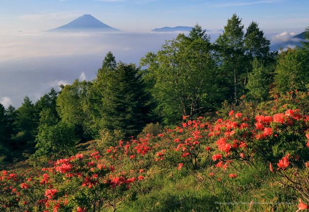 レンゲツツジと早朝の富士山