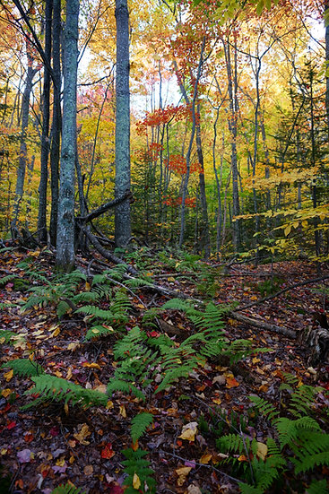 Fall Forest Understory