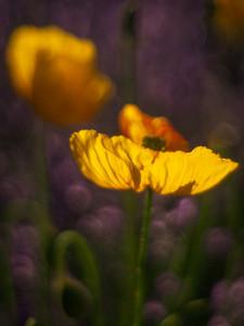 antique poppy