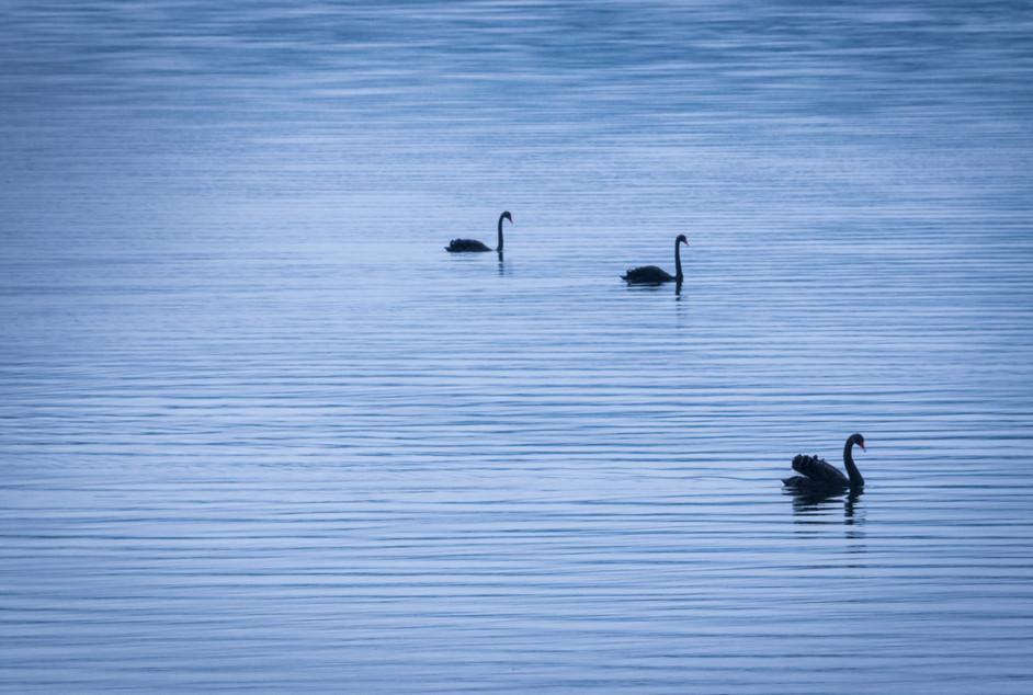 Swanlines.jpg