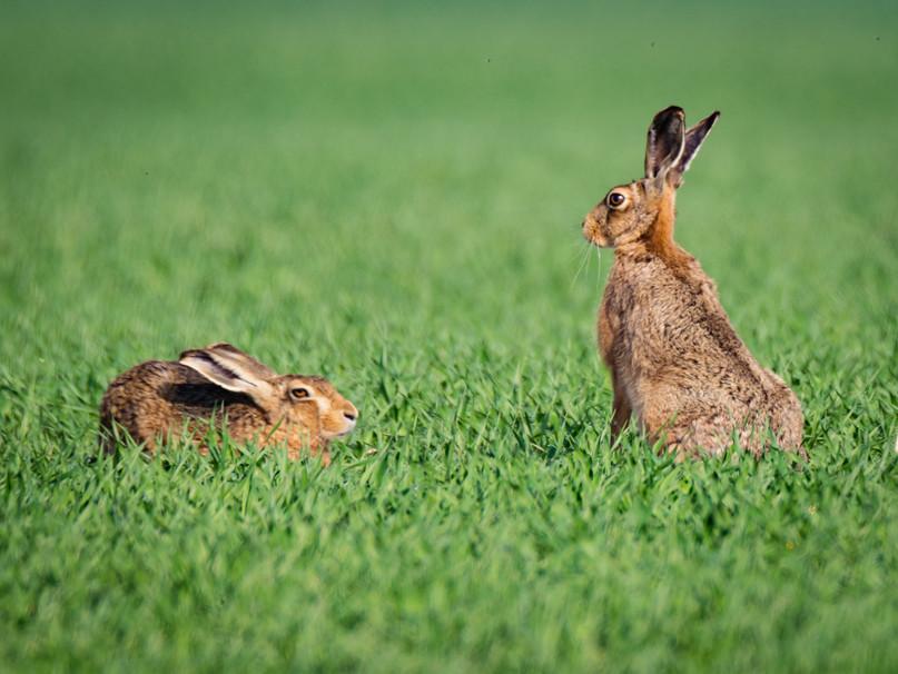 hare hare 2