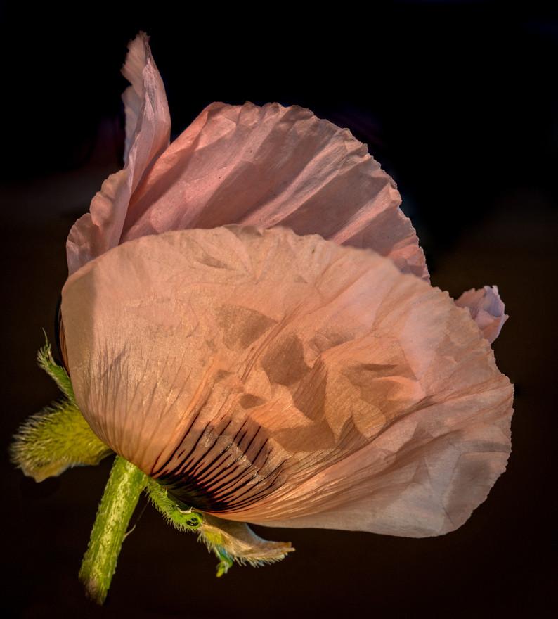 poppy paper