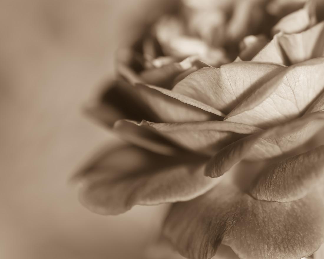 janes rose