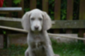 Puppy looking for you to contact Ridgefield Pet