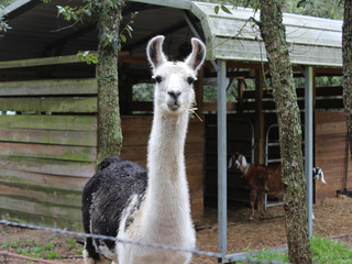 This is Chaos..he is our guard Llama for the goats