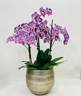 Orchideen inklusive schönem Topf