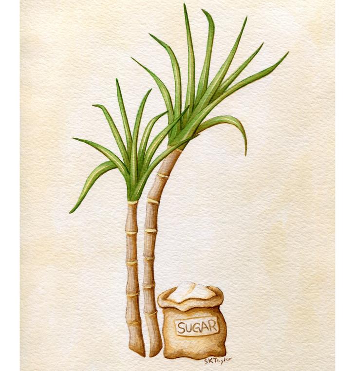 Sugar Cane - Rum