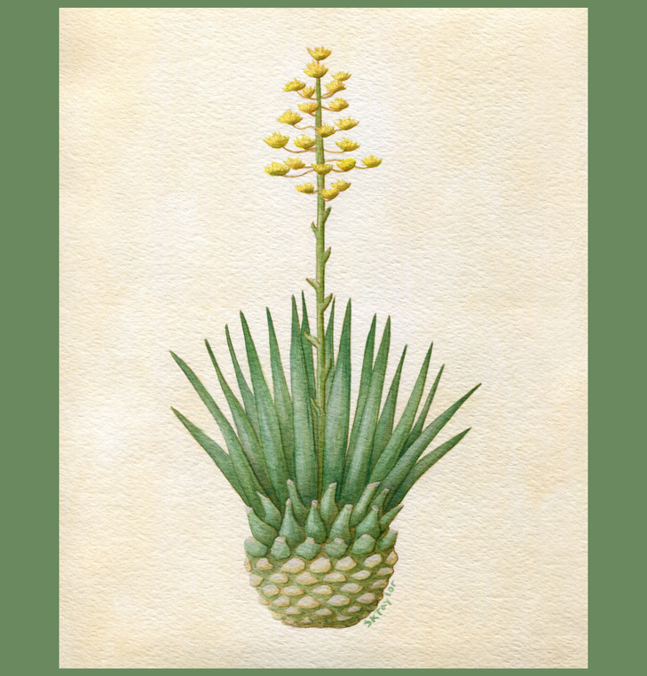 Blue Agave - Tequila
