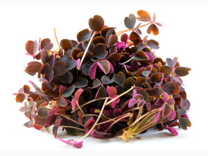 Red and Bronze Oxalis Corrals