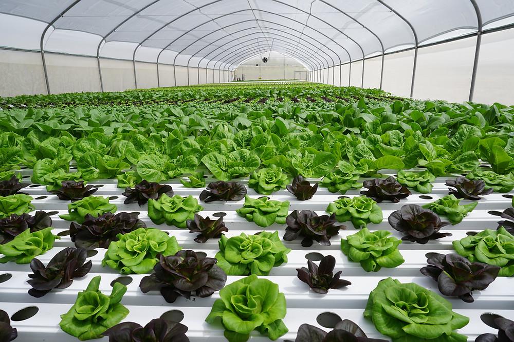TAPKIT hydroponic greenhouse