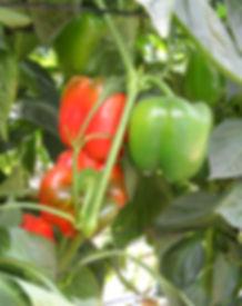 Postharvest Hub - sweet peppers
