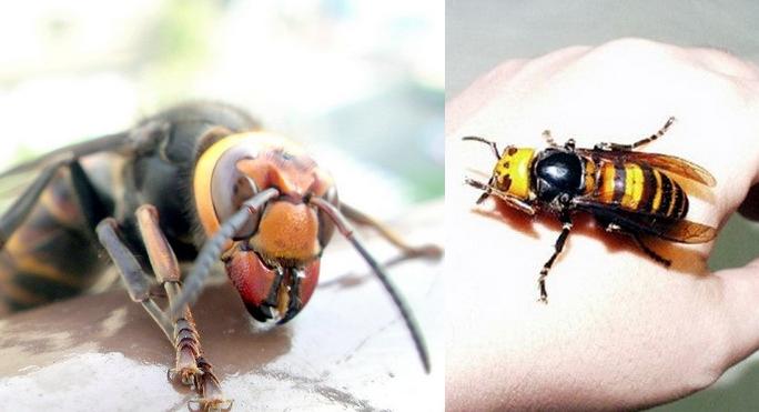 Расскажите детям про насекомых:Огромный азиатский шершень.