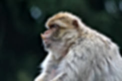 Canva - Barbary Macaque (2).jpg