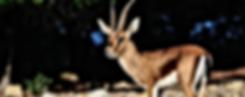 En voie d'extinction: La Gazelle de Cuvier