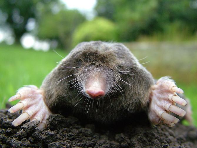 Mole Control!